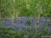 barrowmore-bluebells